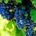 Cabernet Sauvignon variedad de uvas de vino tinta