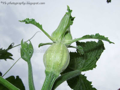 Female Pumpkin Bud