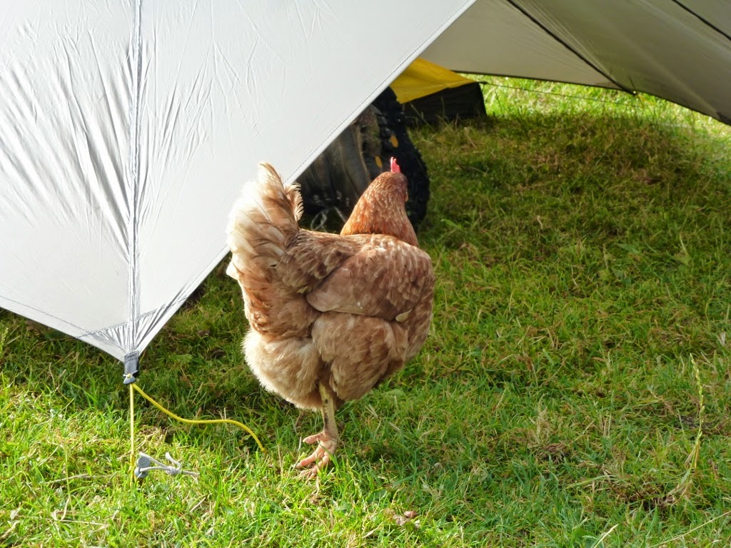 chicken entering Al's tent