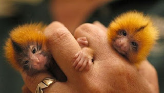 Smallest Monkey in the World