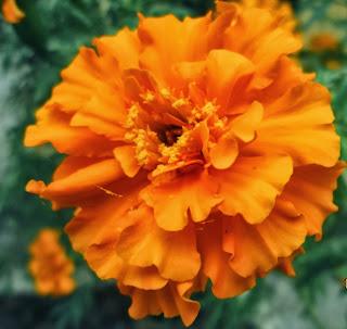 Marigold ( Genda Phool )