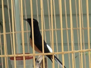 Budidaya Burung TIPS MERAWAT MURAI BATU MEDAN YANG SEDANG