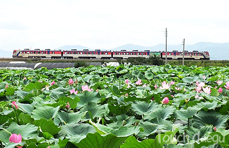 Touch daegu lotus flowers habitat in ansim lotus flowers are in bloom currently in banyawol district the nations largest producer of lotus roots in dong gu daegu jeomsaeneup wetland within the mightylinksfo