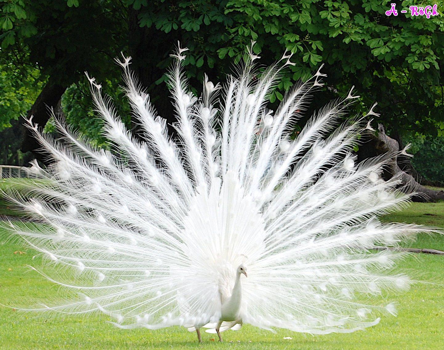 http://1.bp.blogspot.com/-iWVSs2rBi6A/TbTtINiRbRI/AAAAAAAADOU/XSvsoAHzOCg/s1600/Peacock+%252896%2529.jpg