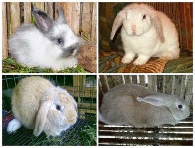 memelihara-kelinci-australia_36541