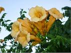 Campsis radicans = Bignonia flava