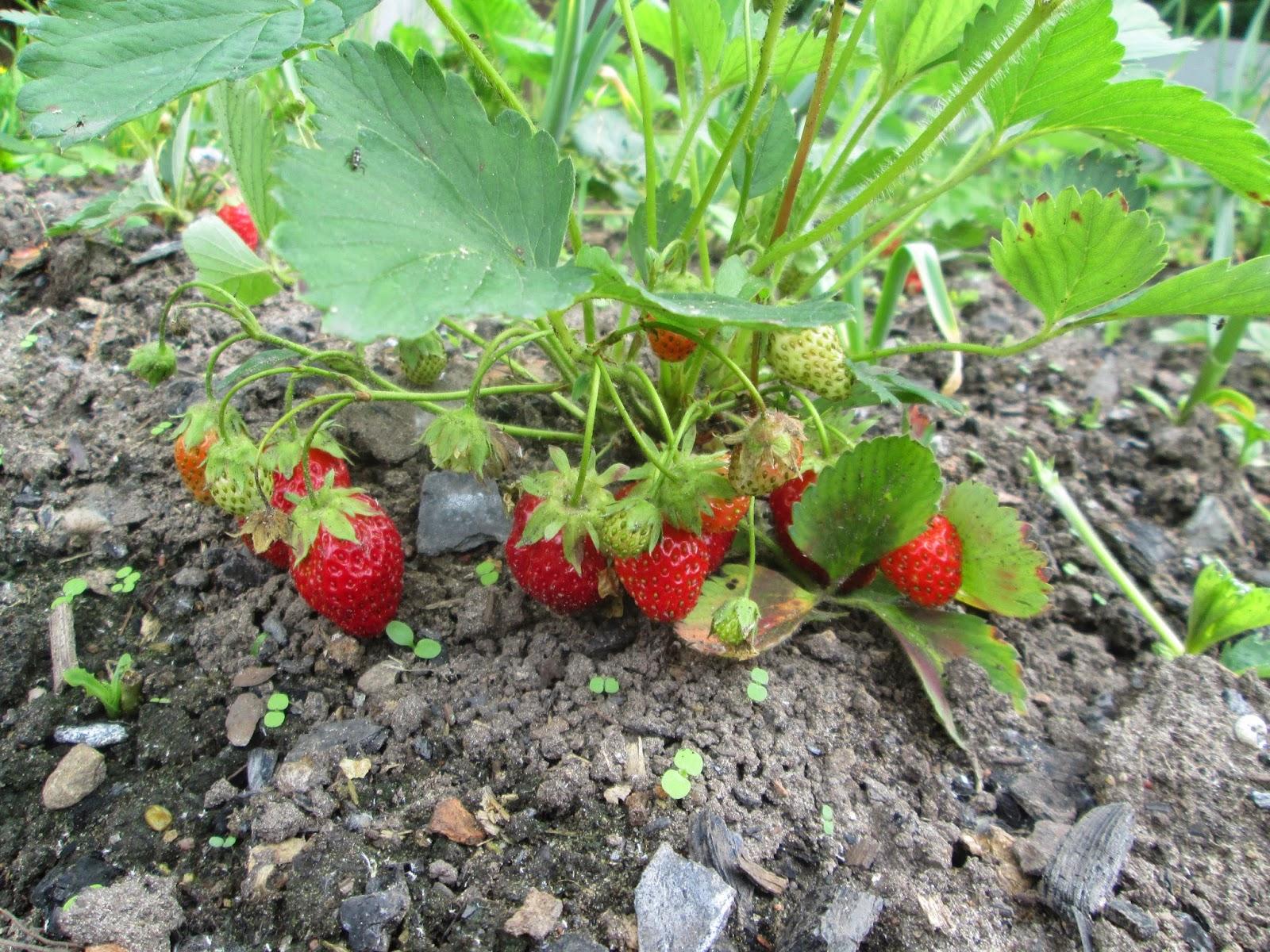 Как правильно посадить клубнику 35