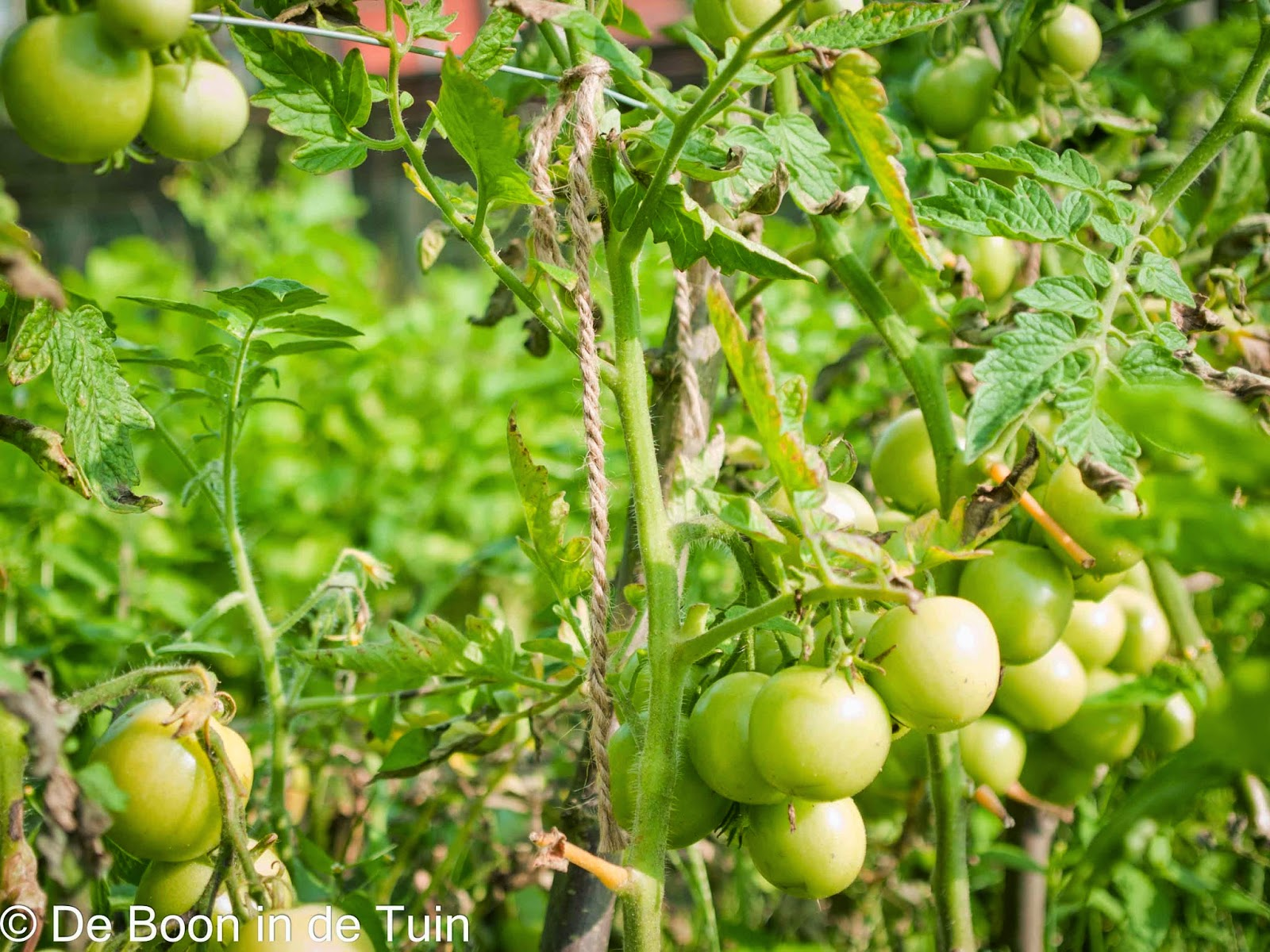 tomaat tomaten moneymaker