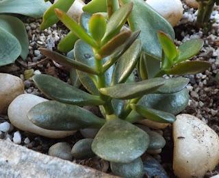 planta suculenta crassula ovata ou planta jade