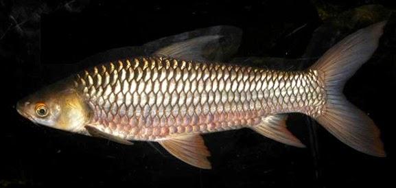 umpan ikan jelawat lombong, Ikan Jelawat, Umpan Ikan Jelawat, umpan terbaik untuk ikan jelawat, Macam-macam Teknik Mancing, rahasia umpan, resep umpan, ampuh, Cara Membuat Umpan Jitu,