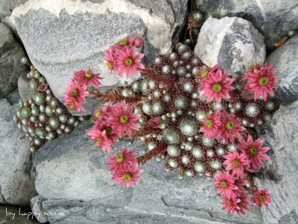 bluhende winterharte steingartenpflanzen – bankroute,