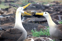 Albatross mating on Espanola, Suarez Point Galapagos