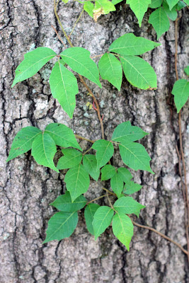 Poison Ivy on tree in Pensacola