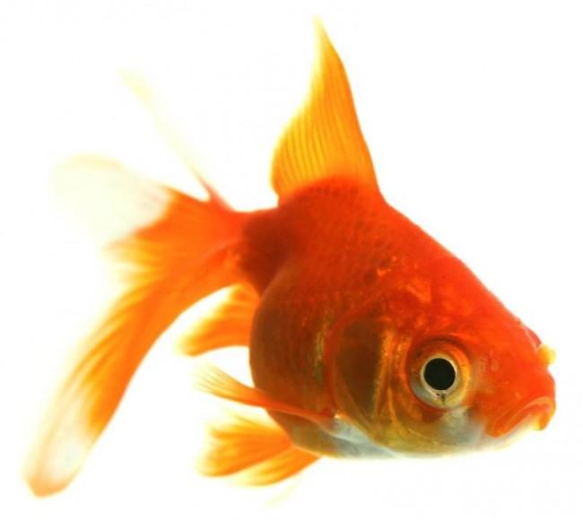 peces domesticos mascotas divertidas