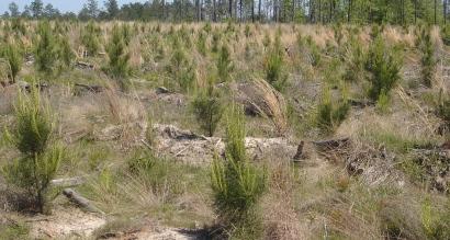 Proyecto de Reforestación - Plantones