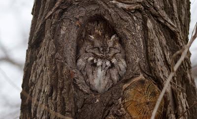 Eastern Screech Owl photo by Trevor Jones with Canon 7D