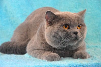 warna kucing solid blue