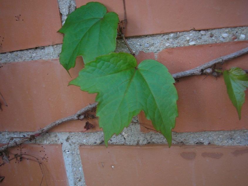 El jardin de pepa enredaderas y trepadoras - Enredaderas de interior ...