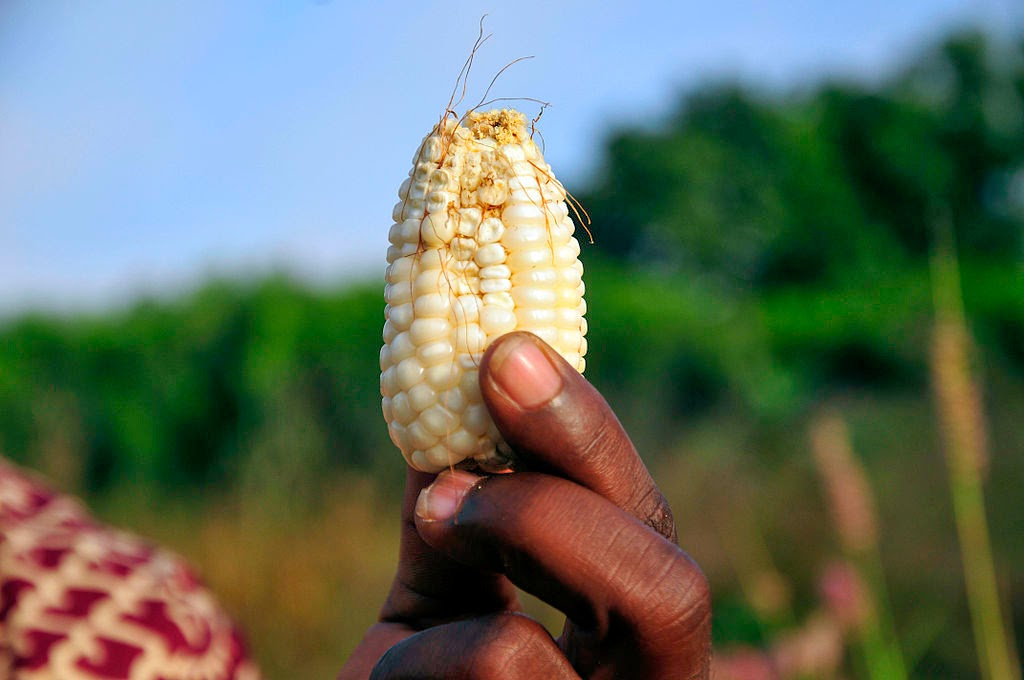 An undersized cob from a failed maize crop in Ghana which has suffered failed rains and rising temperatures (Credit: CIAT (NP Ghana23_lo Uploaded by mrjohncummings), via Wikimedia Commons) Click to enlarge.