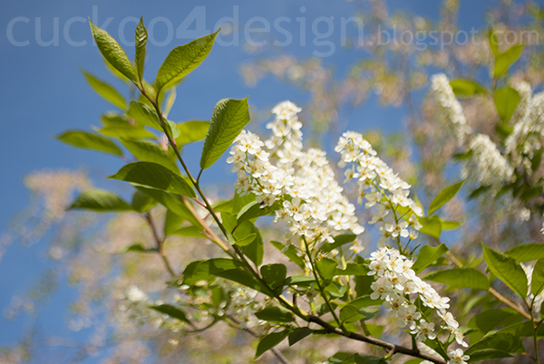 blooming chokecherry tree