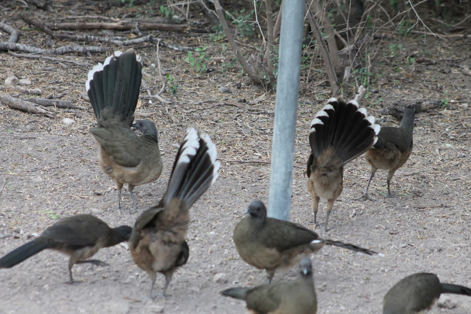 The Noisy Large Chachalacas Wait At The Feeders For The Volunteers To Fill  Up The Peanut Butter Log.