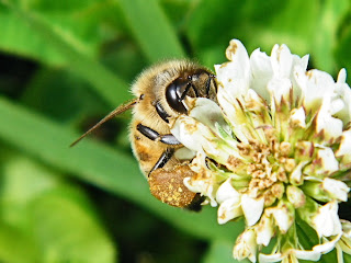 bee on clover blossom