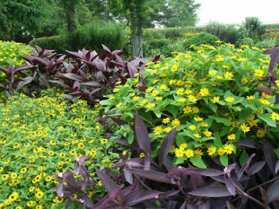 Rosetta McClain Gardens purple tradescantia and yellow rudbeckia annual bed by garden muses: a Toronto gardening blog