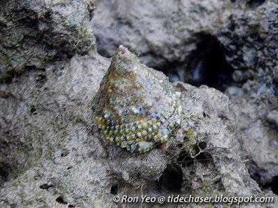 Juvenile Giant Turban Snail (Tectus niloticus)