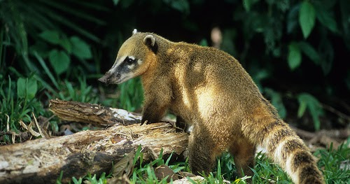Zoo News Digest Coati Coffee