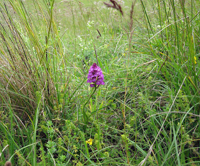 Pyramidal orchid, Anacamptis pyramidalis, in a Bromley Valley. Ups and Downs walk led by Ewa Prokop, 21 June 2011.