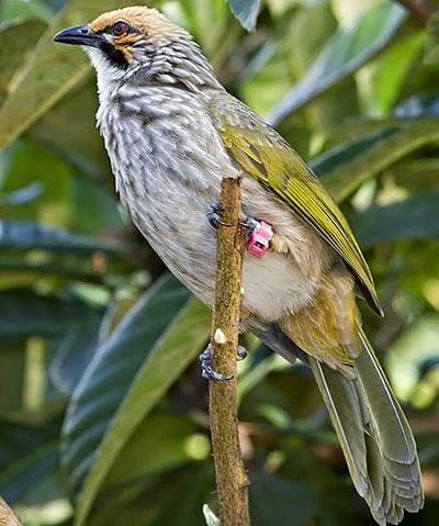 Gambar Cara Merawat Burung Cucakrowo