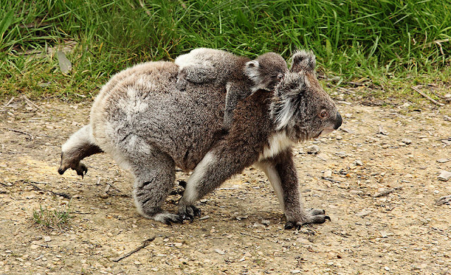 characteristics of koala a threatened species Nearly 50 new species of flora and fauna have been added without fanfare to the federal government's list of threatened species,  crucial koala habitats lost in .