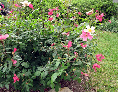 Annieinaustin, Mutabilis Rose, april