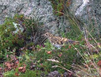 Trøndelags første funn av gulltrost (Zoothera dauma)
