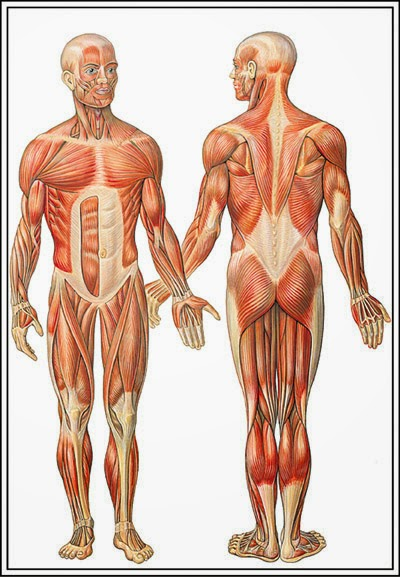 Unlabeled Muscular System Diagram – defenderauto.info