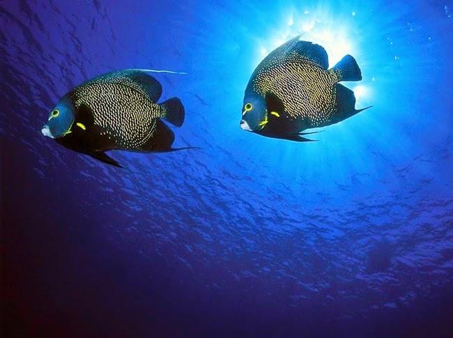 أجمل الأسماك الاستوائية الملونة   - صفحة 2 Colorful-tropical-fishes-10