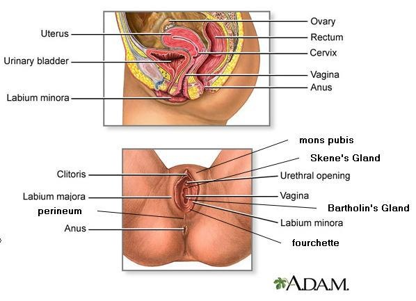 Lui Anatomy of female sex organ frisch