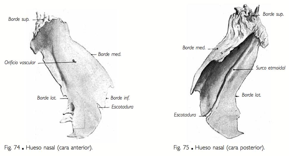 Morfofunción: Cabeza y cuello: propios de la nariz