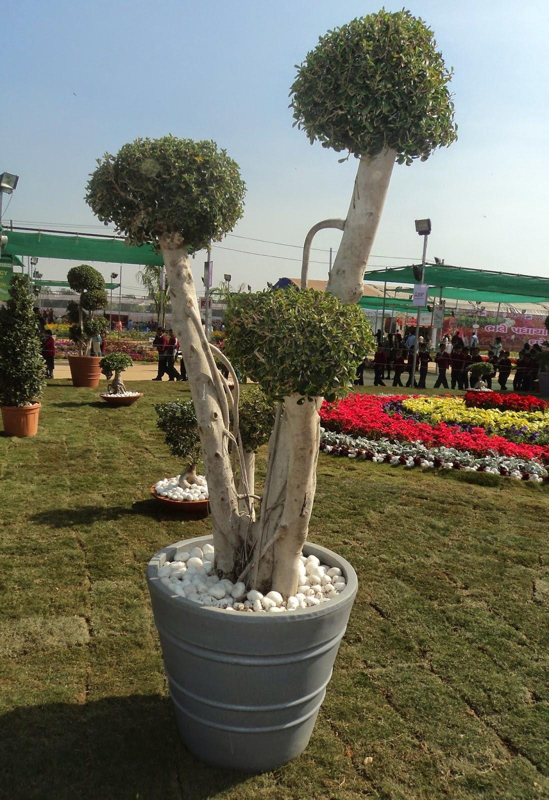 ficus plant container