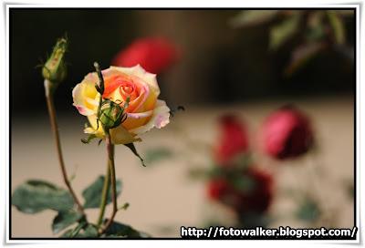 九龍公園玫瑰園