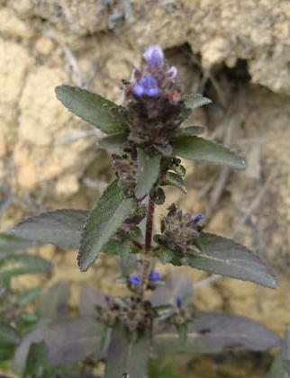 Adenosma indianum (Lour.) Merr.