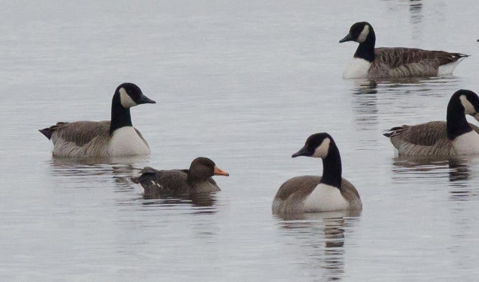 Canada Goose' 2015 us figure