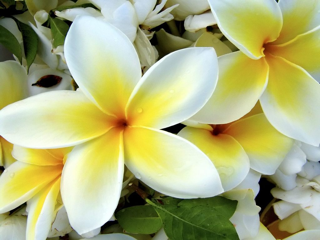 Best flower 39 s care plumeria for What are the best flowers
