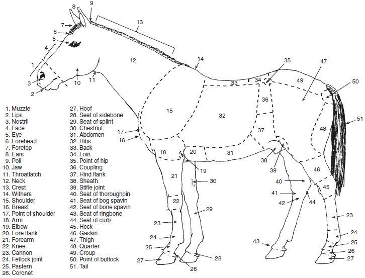 Horse information from the web i have seen and i have shown you or directed you to some very good drawings of points or parts of a horse ccuart Images