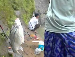 umpan mancing ikan tawes di kolam yang ampuh, mancing ikan awes,