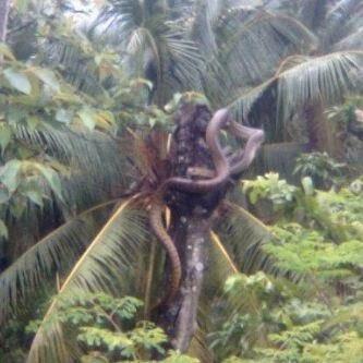 Gambar Foto Ular senduk, besar, berbisa, king cobra, piton, sawa ...