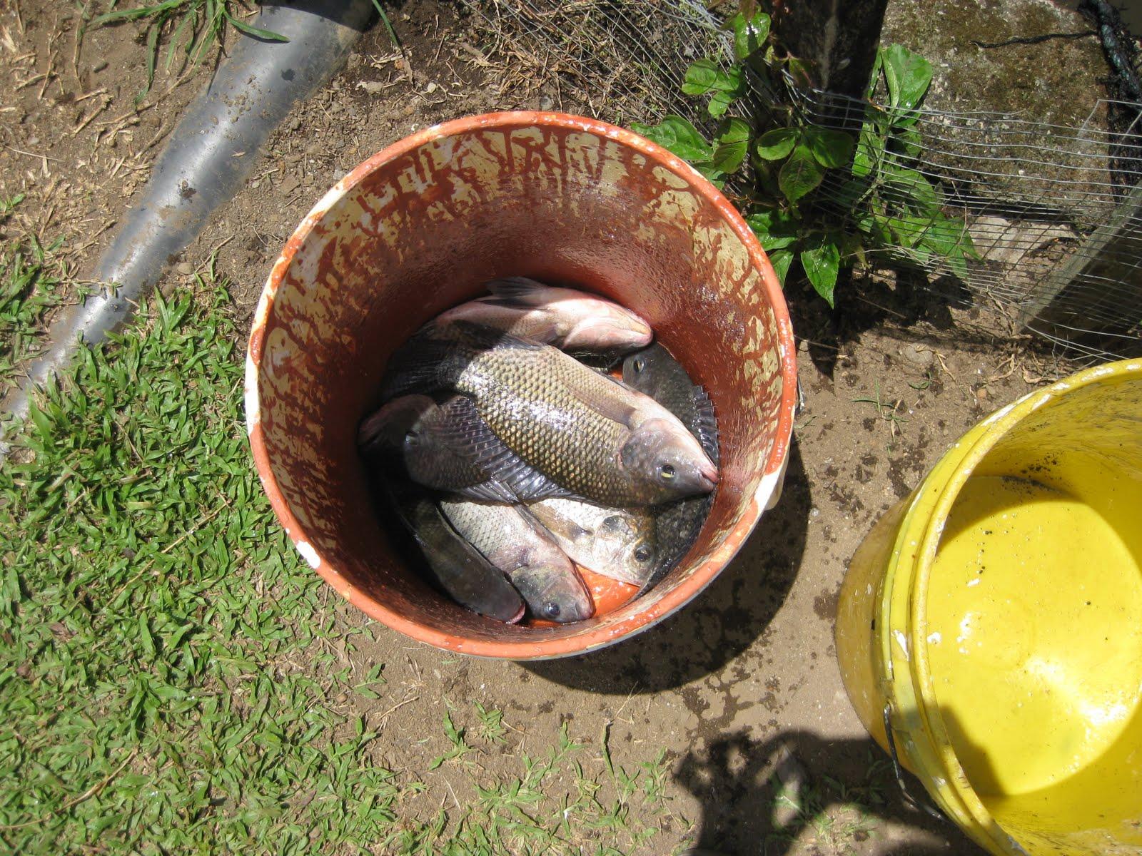 costa rica blogging tilapia farming in costa rica