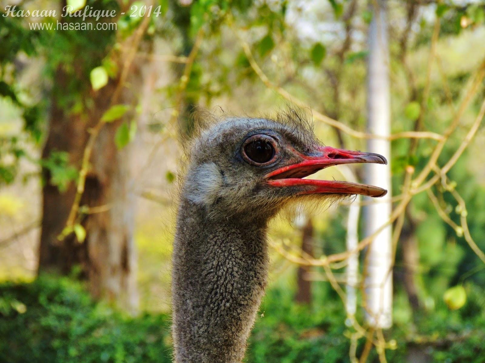 An ostrich closeup shot.