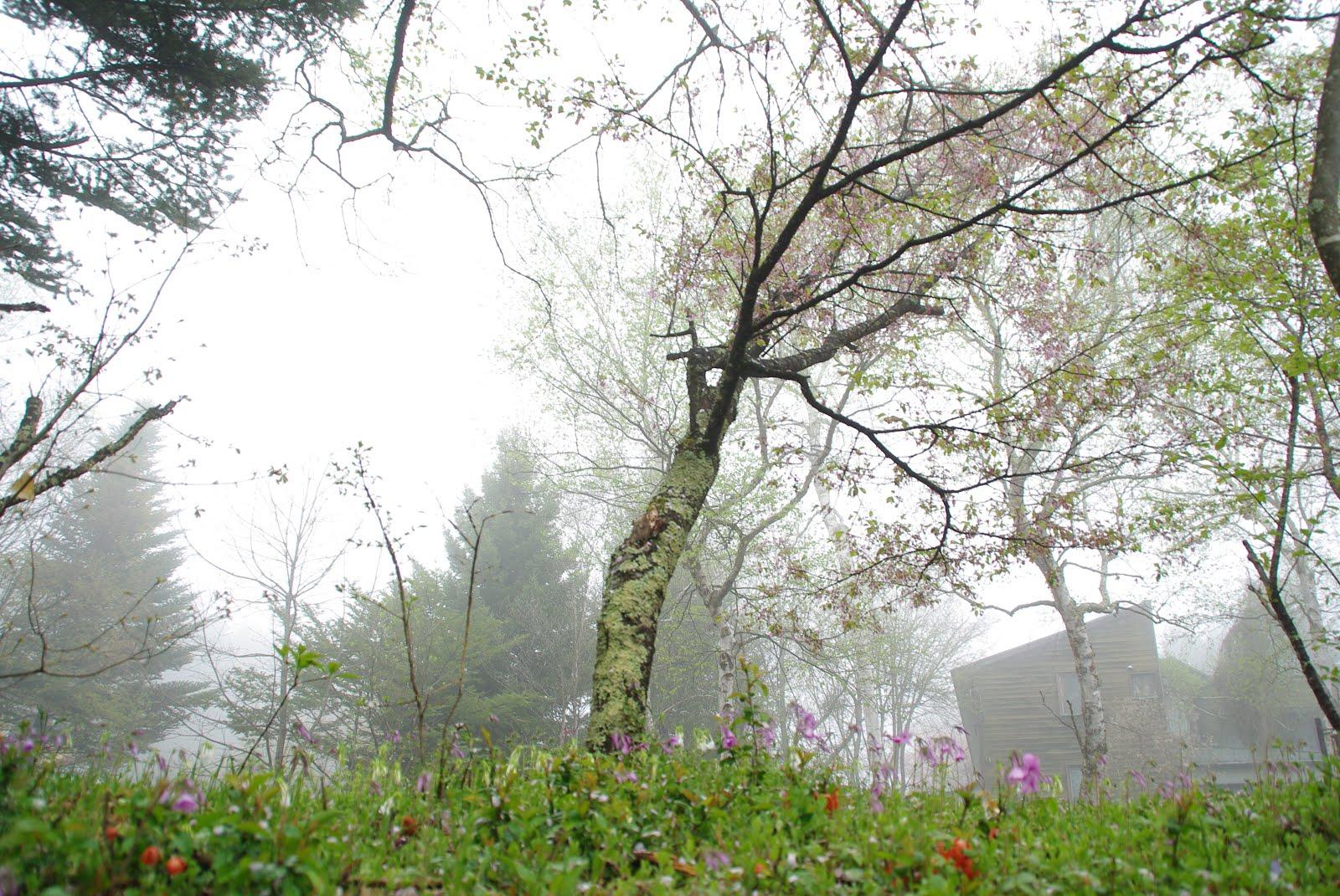 白樺の足下も花が