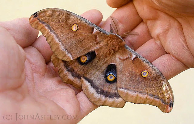 Polyphemus moth (c) John Ashley